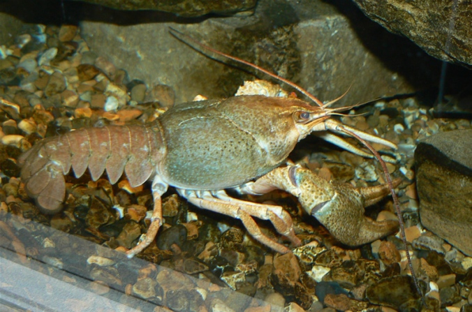 narrow_clawed_crayfish