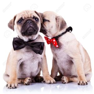 12581768-lady-mops-puppy-whispering-something-or-kissing-its-gentleman-partner-while-seated-cute-mops-couple--Stock-Photo