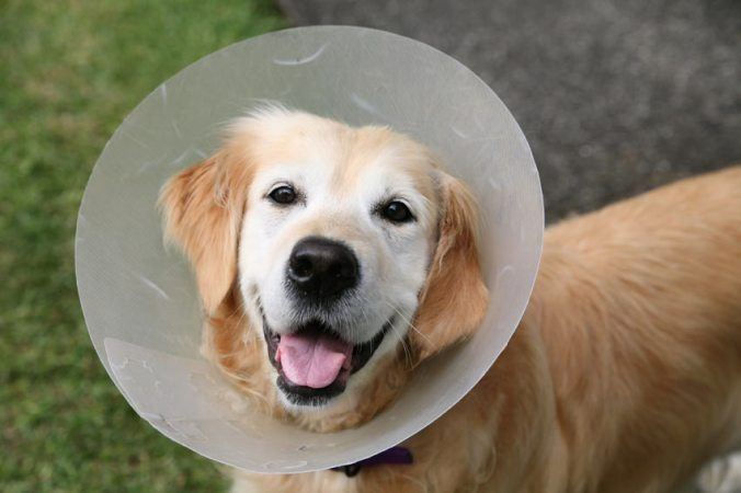 Dog-Dog_Guide-A_Golden_Retriever_wearing_an_Elizabethan_Collar